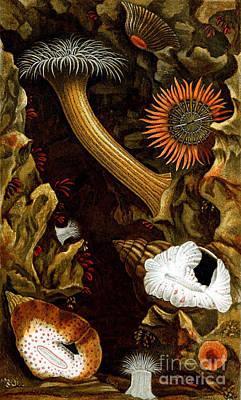 Sea Anemones, 1860 Print by Biodiversity Heritage Library