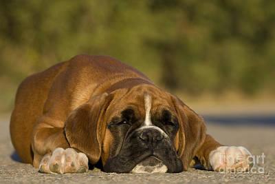 Sleepy Boxer Puppy Print by Jean-Louis Klein & Marie-Luce Hubert