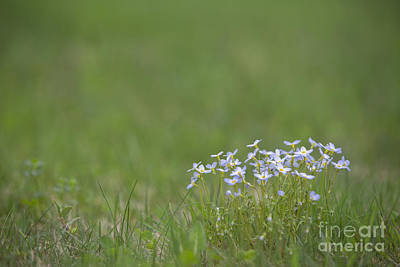 Violet Photograph - Spring Wildflowers by Diane Diederich
