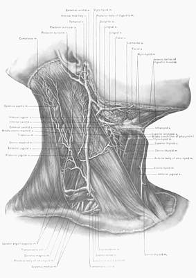 Surgical Anatomy Of The Head And Neck Print by FL collection