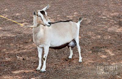 Uc Davis Photograph - Transgenic Goat by Inga Spence