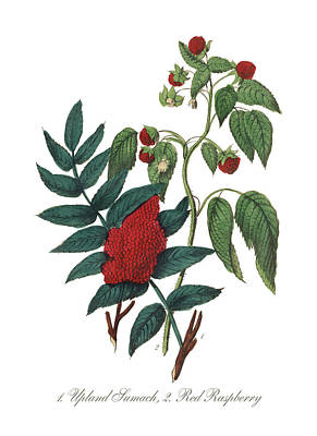 Raspberry Drawing - Victorian Botanical Illustration Of Upland Sumach And Red Raspberry by Peacock Graphics