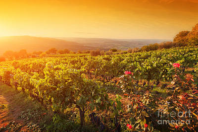 Vineyard In Tuscany, Ripe Grapes At Sunset Print by Michal Bednarek