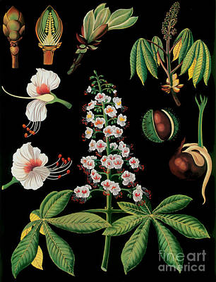 Vintage Botanical Print by Mindy Sommers