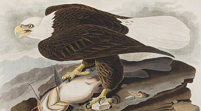 Eagle Drawing - White-headed Eagle by John James Audubon