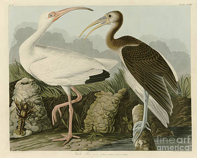 Portrait Painting - White Ibis by John James Audubon