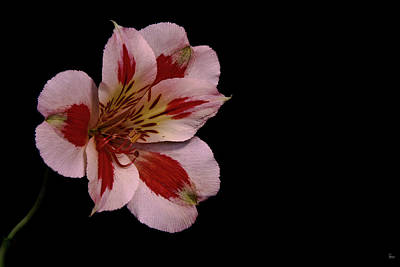 Lily Of The Incas Photograph - White Peruvian Lily by Jason Blalock