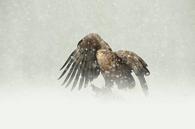 Winter Scenes Photograph - White-tailed Eagle by Andy Astbury