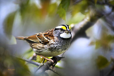 Digital Art - White Throated Sparrow-2 by Christina Rollo