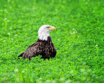 Bald Eagle Photograph - Wild American Bald Eagle by LeeAnn McLaneGoetz McLaneGoetzStudioLLCcom