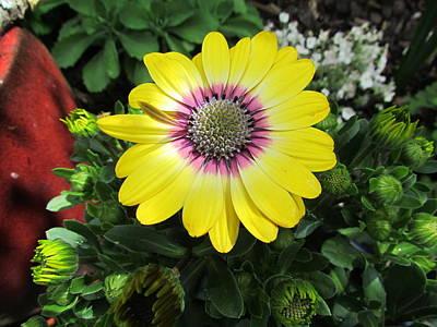 Photograph - Yellow Daisy by Joyce Woodhouse