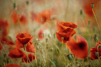 Weed Photograph - Summer Poppy Meadow by Nailia Schwarz