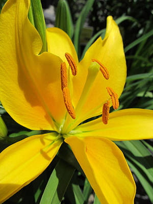 Yellow Lily Print by Michele Caporaso