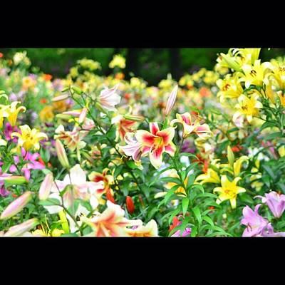 Lilies Photograph - Lily by Hiromune Ashizawa