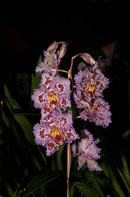 Cattleya Style Orchids Print by Carol Ailles