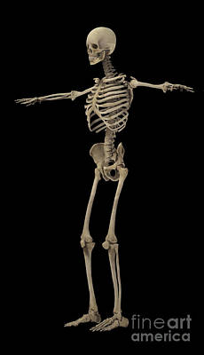 Costae Spuriae Digital Art - 3d Rendering Of Human Skeletal System by Stocktrek Images