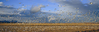 Sandhill Crane Photograph - A Panoramic Of Thousands Of Migrating by Panoramic Images