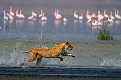 Flock Of Bird Photograph - African Lioness Panthera Leo Hunting by Panoramic Images