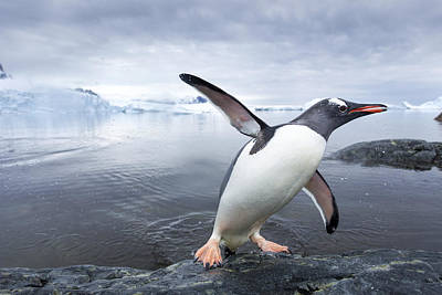 Antarctica, Cuverville Island, Gentoo Print by Paul Souders