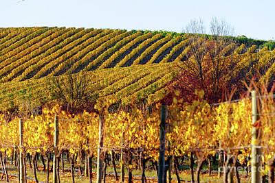 Vineyard Photograph - Autumn Vines by Bill Robinson