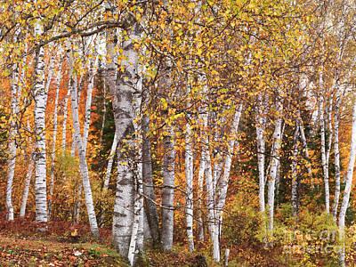 Fall Photograph - Birch Trees Fall Scenery by Oleksiy Maksymenko