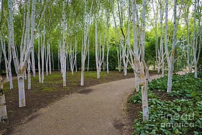 Birch Trees Print by Svetlana Sewell