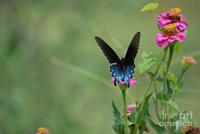 Black Swallowtail Butterfly 2  Print by Ruth Housley