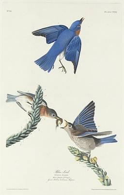 Bluebird Drawing - Blue-bird by John James Audubon