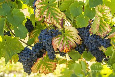 Healthy Eating Photograph - Bunch Of Grapes by Bernard Jaubert
