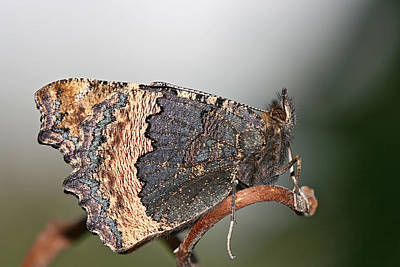 Insects Photograph - Butterfly by Jan Boesen