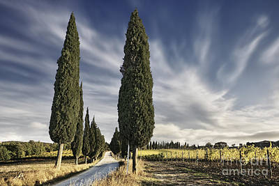 Vines Photograph - Cypress Trees - Tuscany by Rod McLean