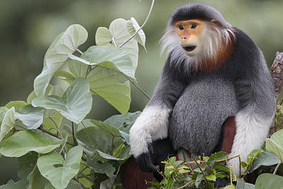 Douc Langur Male Vietnam Print by Cyril Ruoso