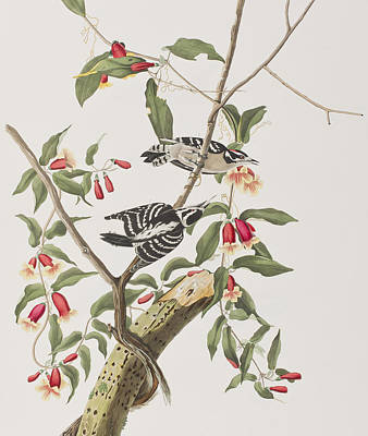 Woodpecker Painting - Downy Woodpecker by John James Audubon