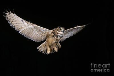 European Eagle Owl Bubo Bubo Print by Gerard Lacz