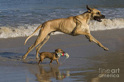Dog At Beach Photograph - Giant And Tiny Dogs by Jean-Louis Klein & Marie-Luce Hubert