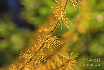 Pine Needles Photograph - Golden Autumn by Veikko Suikkanen