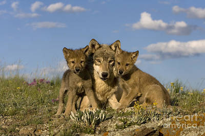 Wolf Photograph - Gray Wolf And Cubs by Jean-Louis Klein & Marie-Luce Hubert
