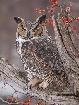 Of Bittersweet Photograph - Great Horned Owl by Cindy Lindow