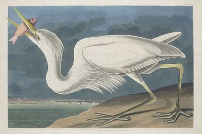 Egret Drawing - Great White Heron by John James Audubon
