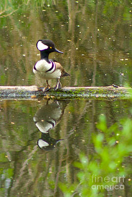 Photograph - Hooded Merganser by Sean Griffin