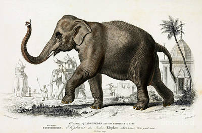 Elephant Photograph - Indian Elephant, Endangered Species by Biodiversity Heritage Library