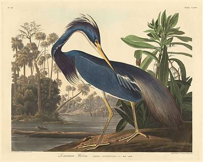 Egret Drawing - Louisiana Heron by John James Audubon