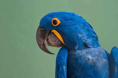 Macaw Print by Daniel Precht