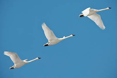Montana Photograph - 3 Montana Swans by Todd Klassy