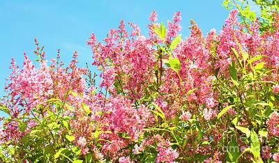 Lilac Photograph - Pink Lilac by Irina Afonskaya