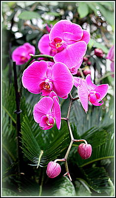Pink Orchids Print by Mindy Newman