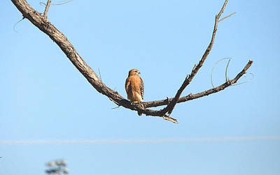 Red-shouldered Hawk Portrait Series Print by Roy Williams