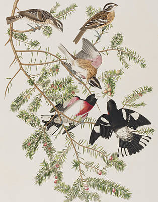 Berry Drawing - Rose-breasted Grosbeak by John James Audubon