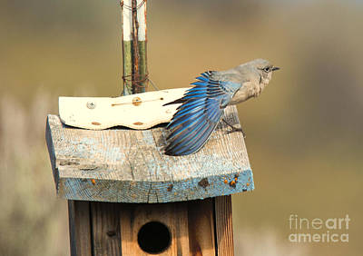 Bluebird Photograph - Spread Your Wings by Mike Dawson