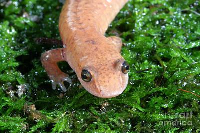 Salamanders Photograph - Spring Salamander by Ted Kinsman
